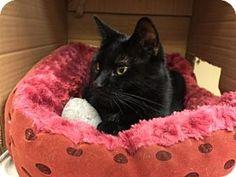 Philadelphia, PA - Domestic Shorthair. Meet Punkin, a cat for adoption. http://www.adoptapet.com/pet/13729955-philadelphia-pennsylvania-cat