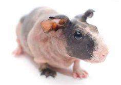 Skinny Pig Guinea Pig Breeding, Guinea Pigs, Peruvian Guinea Pig, Skinny Pig, Long Hair Wigs, Abyssinian, Coat Patterns, Hippopotamus, Rodents