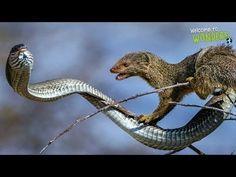 Cobra vs mongoose, Mongoose vs King Cobra, Animals Real Fight Compilation