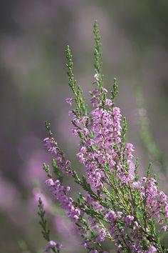 Nyári virág ... Fotós Oleg Pigilev