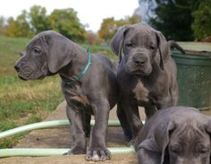 Blue Great Dane Puppies Photos