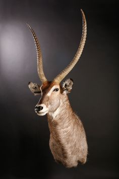 Taxidermy mount of a Waterbuck with a slight turn.