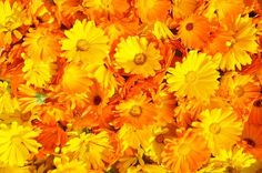 There are many uses of marigold flowers: you can make calendula oil, calendula tincture, calendula salve and more. Recipes of DIY products. Calendula Tea, Calendula Benefits, Marigold Flower, Flower Petals, Flowers Perennials, Planting Flowers, Fresh Flowers, Colorful Flowers, Yellow Flowers
