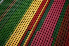 Fields of Tulips, Near Amsterdam, Netherlands | Stunning Aerial Photography by Yann Arthus-Bertrand | DeMilked