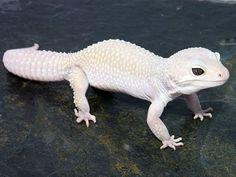 Gecko mack snow