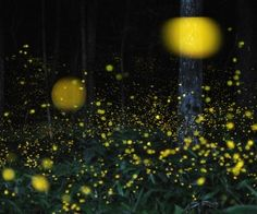 Amazing Firefly Photography by Tsuneaki Hiramatsu