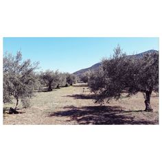 Olive Tree, Homeland, Good Morning, Greece, Country Roads, Beach, Water, Instagram Posts, Outdoor