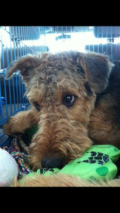 Tired Airedale...