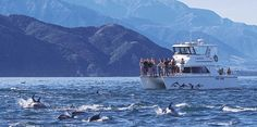 Dolphin Encounter -- generally pods of 100 to 1000 can be found daily off the Kaikoura Coast (New Zealand)
