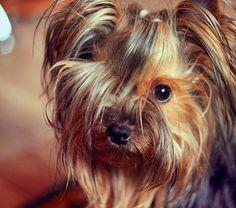 Das #Uberdog Asuka #dog #dogsoninstagram #yorkeezz #yorkie #yorkiegram101 #yorkieofinstagram #instadogs #instapet #instayorkie #yorkshireterrier #Yorkie_feature #yorkielover #petstagram #pets #animals #sendadogphoto #ilovemydoggy #iloveyorkie #йорки #йоркширскийтерьер #йоркикручевсех #йоркирулят #собаки #псы