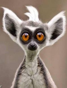 Es un lemur, Madagascar. Es muy listo (smart), se fija mucho en las cosas.