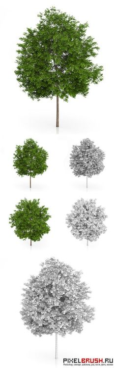 Maidenhair Tree (Ginkgo biloba) 6.3m - 3docean 9646108