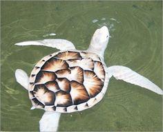 Half albino turtle, how beautiful! Turtles are my favorite!!! <3!!!