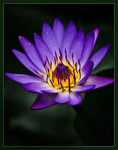 Flower for the Waterfall~Water-lily