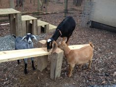 IMG_3305 Goat Playground, Seesaw, Chapel Hill, Carriage House, Christmas Presents, Goats, New Baby Products, Cow, Animals