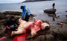 """""""O Grito do Bicho"""": Denúncia: Greenpeace apóia caça aos ursos polares ..."""