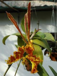 Les plus beaux orchidées - Orchidée black lady. : Album photo - aufeminin.com : Album photo - aufeminin.com - aufeminin