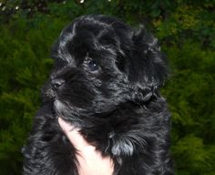 Black And White Maltipoo Puppies On Pinterest