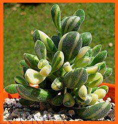 Plantas Suculentas: Crassula rogersii f variegada - South Africa