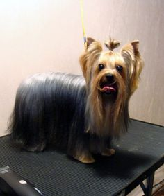 Explore Yorkie Haircuts Pictures And Select The Best Style For Your Pet Yorkshire Dog, Yorkshire Terrier Dog, Yorkies, Yorkie Cuts, Yorkie Hairstyles, Teddy Bear Puppies, High Quality Dog Food, Haircut Pictures, Yorkie Puppy