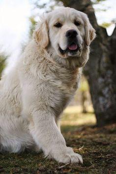 See more English Golden Retriever ~ Swissridge Kennels http://cutepuppyanddog.blogspot.com/