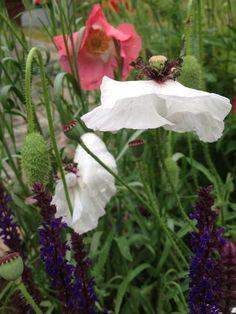 Papaver rhoeas; Salvia nemorosa 'Caradonna'