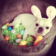 The Easter Frenchie hatching its eggs, lol.