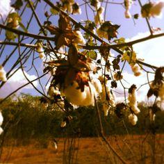 """El origen del algodón.   Una comunidad puede desarrollar todo su potencial si descubre la manera adecuada de explotar sus recursos.   Fotografía tomada en una comunidad rural llamada: """"San Juan Xkaladzonot"""", Chankom, Yucatán."""