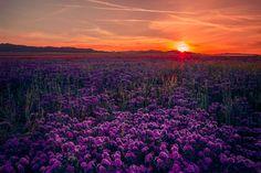 Phacelia Ciliada Field at Sunset - null