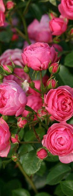 Beautiful Pink's
