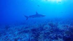 Highlights from diving of Bimini in the Bahamas last week. Sound on folks!    #Bahamas #bimini #sharks #reef #stingrays #stingray #vamps #allnight #gopro #goprooftheday #highlights #marinelife #marinebio #oceans #reefsharks #lobster #fishofinstagram
