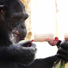 Day 40 - Jamie #chimpanzee really enjoyed the beets from today's lunch forage. #100happydays #chimpsanctuarynw