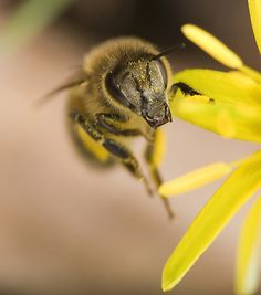Bee by on DeviantArt Bee Pictures, Buzz Bee, Save The Bees, Macro Photography, Creepy, Animals, Alex Grey, Wasp, Spiders
