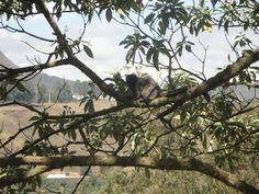 common marmoset Ouro Preto Brasil