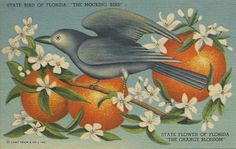 Florida - Mockingbird and Orange Blossoms; State Bird and Flower (Art Prints, Wood & Metal Signs, Canvas, Tote Bag, Towel) Florida Girl, Old Florida, Vintage Florida, State Of Florida, Florida Living, Sarasota Florida, Central Florida, Mocking Birds, Florida Oranges