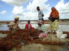Tansania: Sansibars Frauen machen mehr aus Seetang Kairo, Painting, Seaweed, African, Messages, Woman, Painting Art, Paintings, Painted Canvas