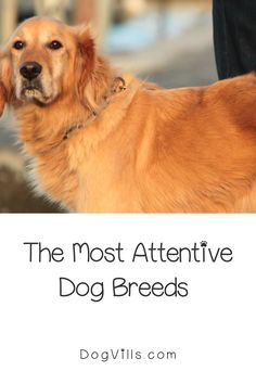 Are you wondering which the most attentive dog breeds are?    You might if you're looking for a dog that's loyal, friendly, and easy to train. Therapy Dog Training, Therapy Dogs, St Bernard Dogs, Most Popular Dog Breeds, Herding Dogs, Fluffy Dogs, Puppy Chow, Small Dog Breeds, Service Dogs