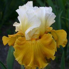 TB Iris germanica 'Salzburg Echo' (Schreiner, 2009)