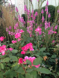 Lythrum and knockout rose