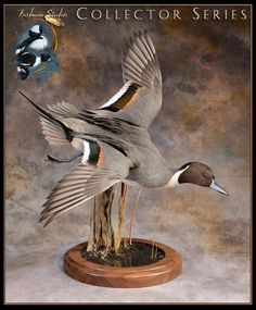 Birds for Sale Taxidermy Decor, Taxidermy Display, Bird Taxidermy, Hunting Art, Duck Hunting, Hunting Stuff, Hunting Engagement Pictures, Duck Mount, Duck Pictures