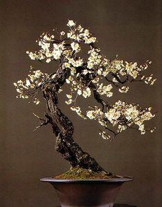 Japanese apricot (Latin-Prunus mume: Japanese-Ume). From Classic Bonsai of Japan (Nippon Bonsai Association).