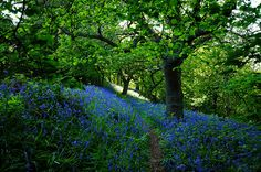 Lickey Hills ~ Bluebell wood, Bromsgrove, Worcestershire