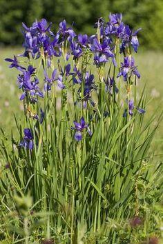 Siberian iris - Iris sibirica