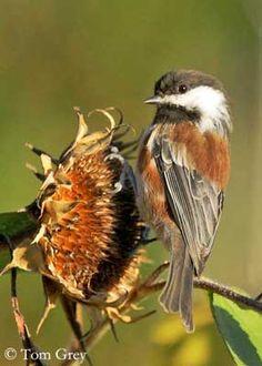 Chestnut-backed Chickadee(Poecile rufescens)