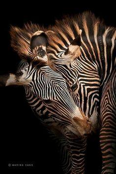 Zebra Love - Black Background in Wild - Marina Cano Nature Animals, Animals And Pets, Cute Animals, Wild Animals, Amazing Animals, Animals Beautiful, Zebras, Wildlife Photography, Animal Photography