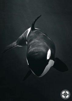 Die 12 Besten Bilder Von Orca Cutest Animals Marine Life Und