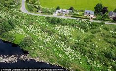 Taking over: This riverbank in north-east Scotland has been colonised by hundreds of giant hogweed plants