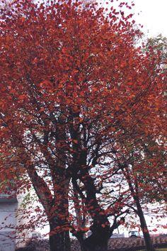 atumn tree