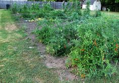 Vickie's Kitchen and Garden: Garden Update for August 5, 2016-  How My Plants a...