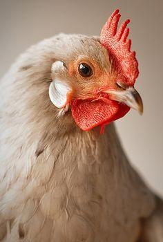 I love chickens!!!!!